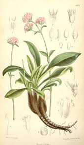 Spikenard (Nardostachys jatamansi): Anti-anxiety Herb |